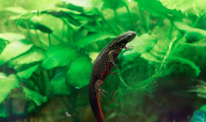 Expert Care Of The Japanese Fire-Bellied Newt