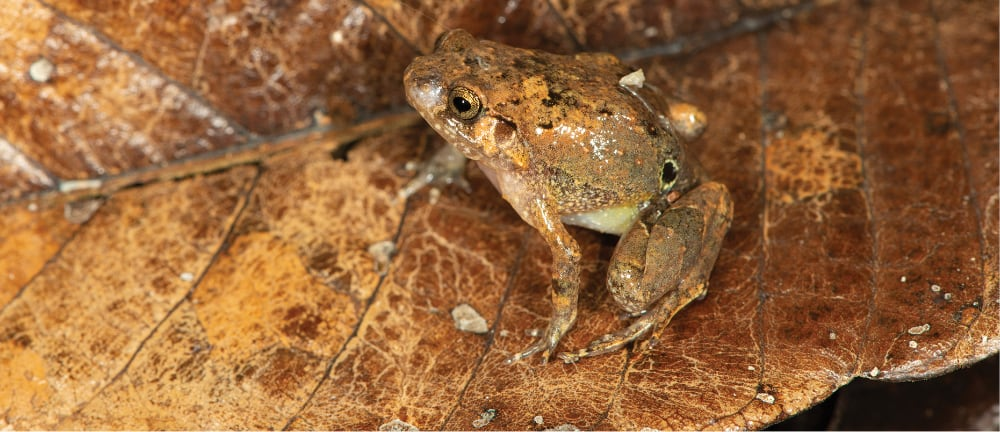 New Species Of Diamond Frog From Northern Madagascar Discovered And Described