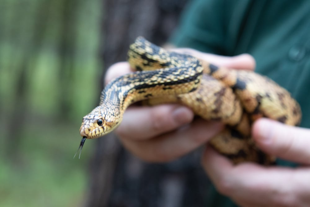 41 Louisiana Pine Snakes Released In Louisiana's Kisatchie National Forest