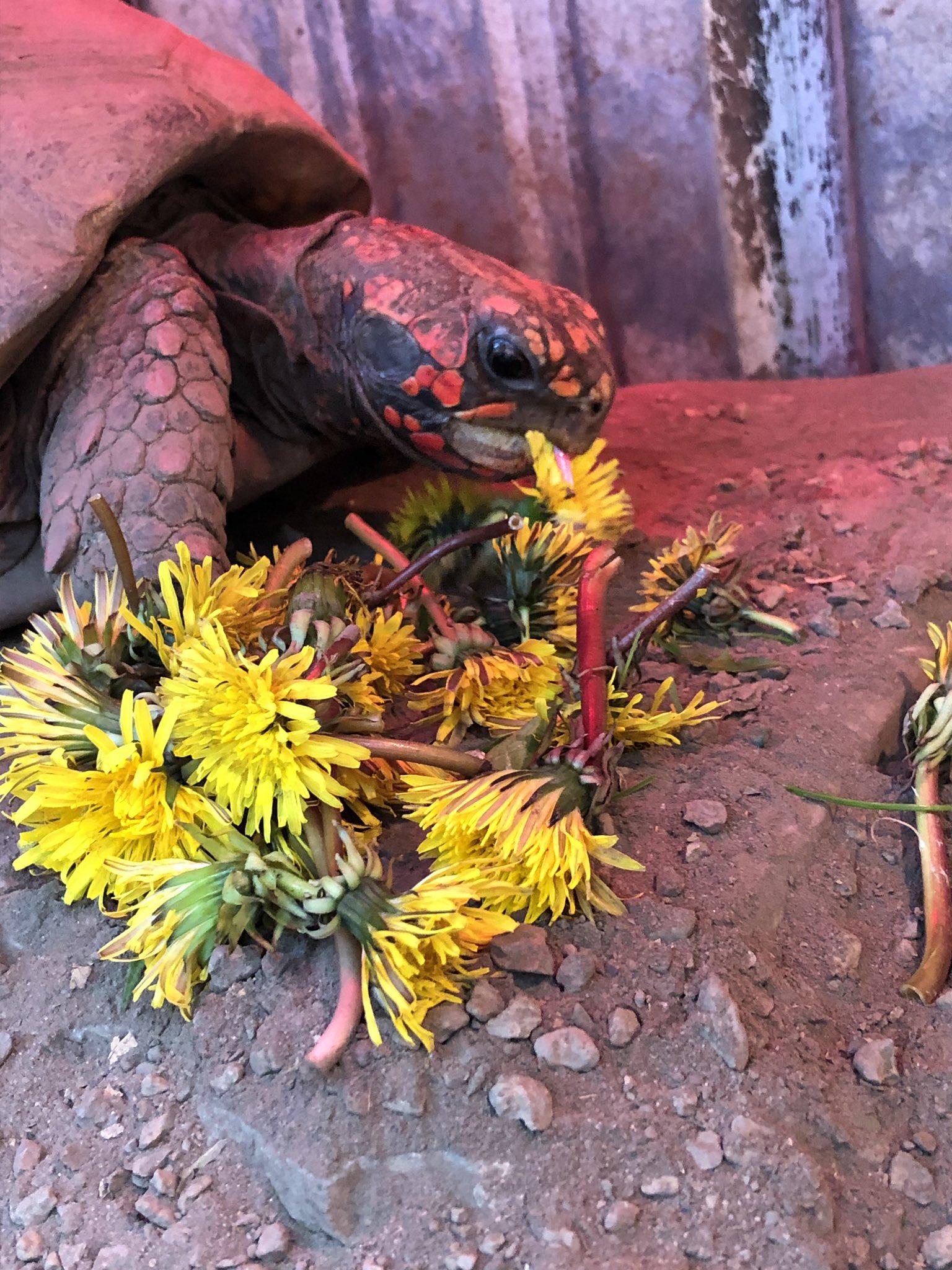 Buffalo Zoo Wants Stolen Red-Footed Tortoise Returned