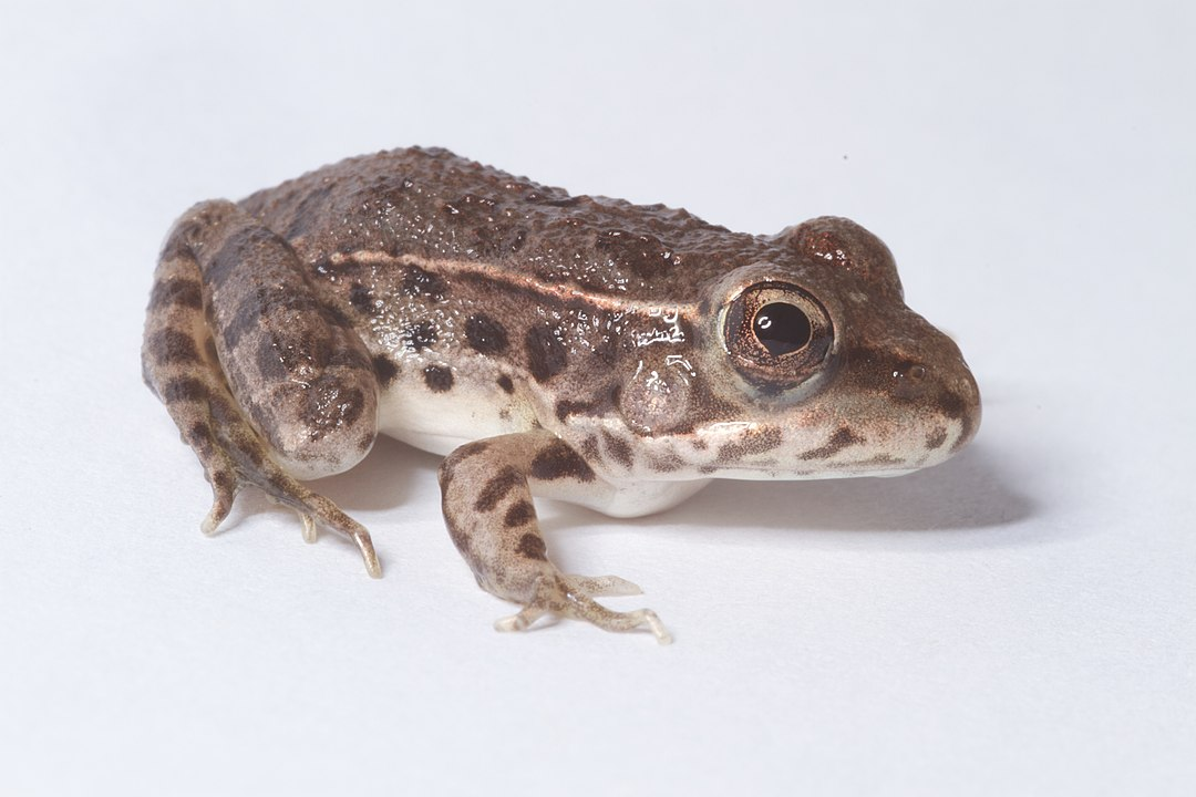 Genes In Frogs Responsible For Fighting Off Chytrid Infection May Be Killing Them, Study Says