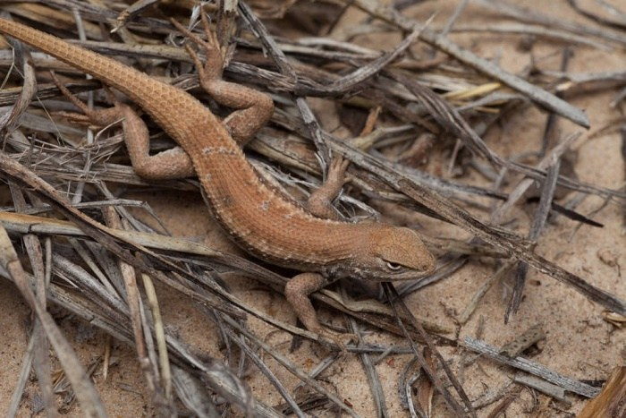 Dunes Sagebrush Lizard Under Review For Federal Endangered Species Act Protections.
