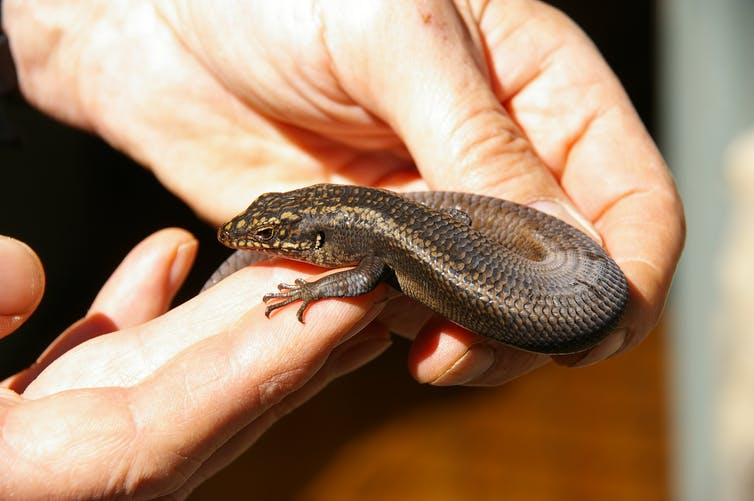 Australia Rock Skink, Named Just A Year Ago May Be Headed to Extinction