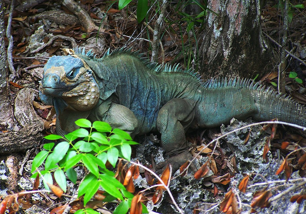 Blue Iguana Conservation Produces 60 Hatchlings In 2020