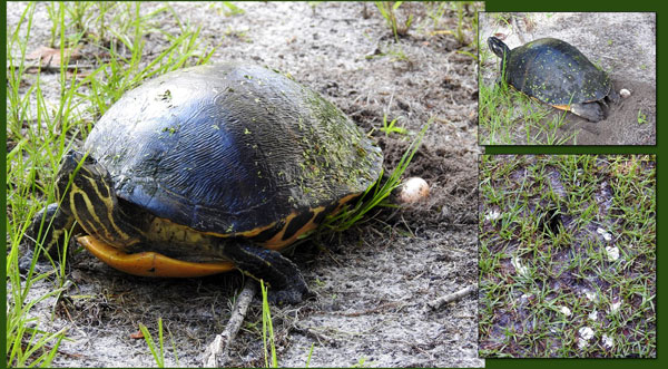 Florida Residents Should Be On The Lookout For Nesting Turtles And Turtle Nests