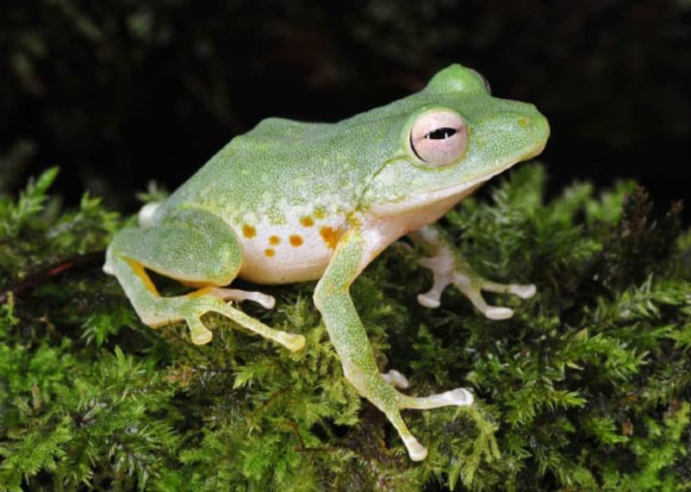 Researchers Discover New Species of Cloud Forest Frog In The Philippines