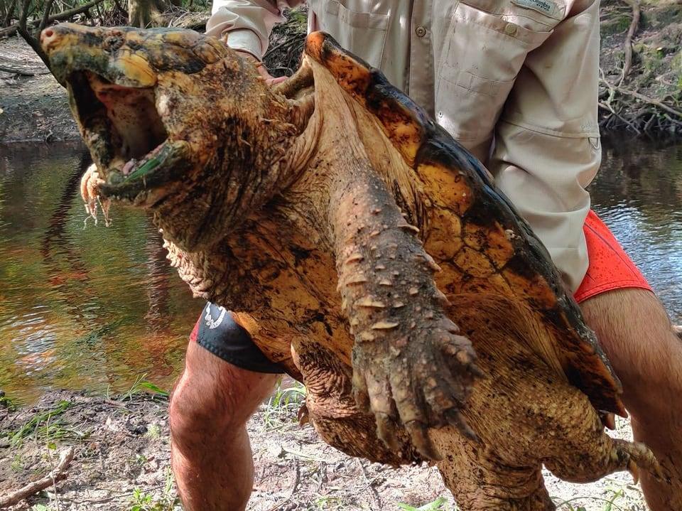 Florida FWC Traps 100-Pound Suwannee Alligator Snapping Turtle