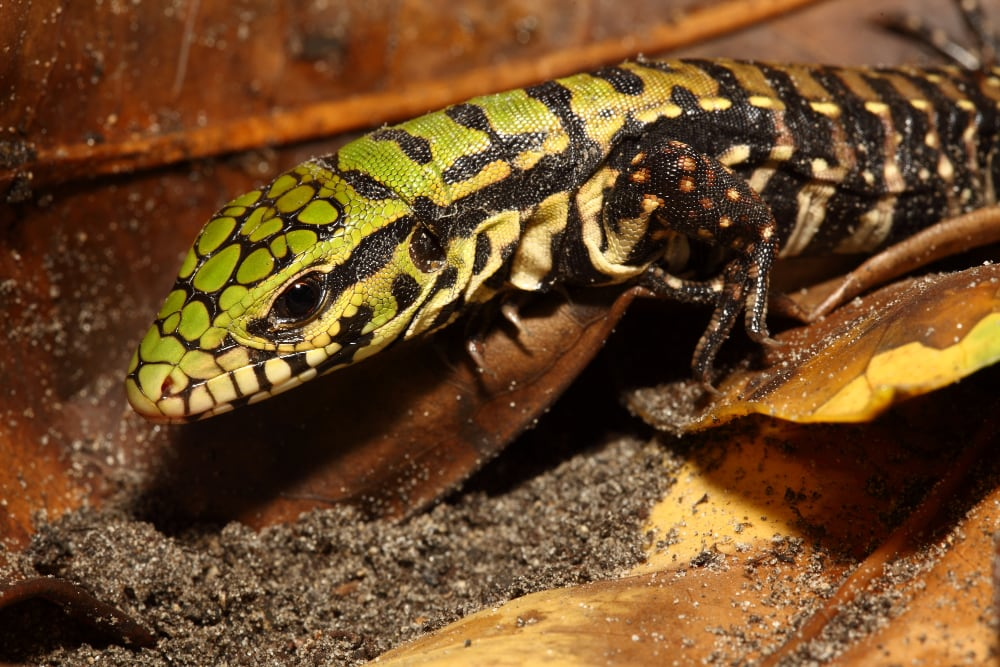 South Carolina Documents First Argentine Black And White Tegu In The Wild