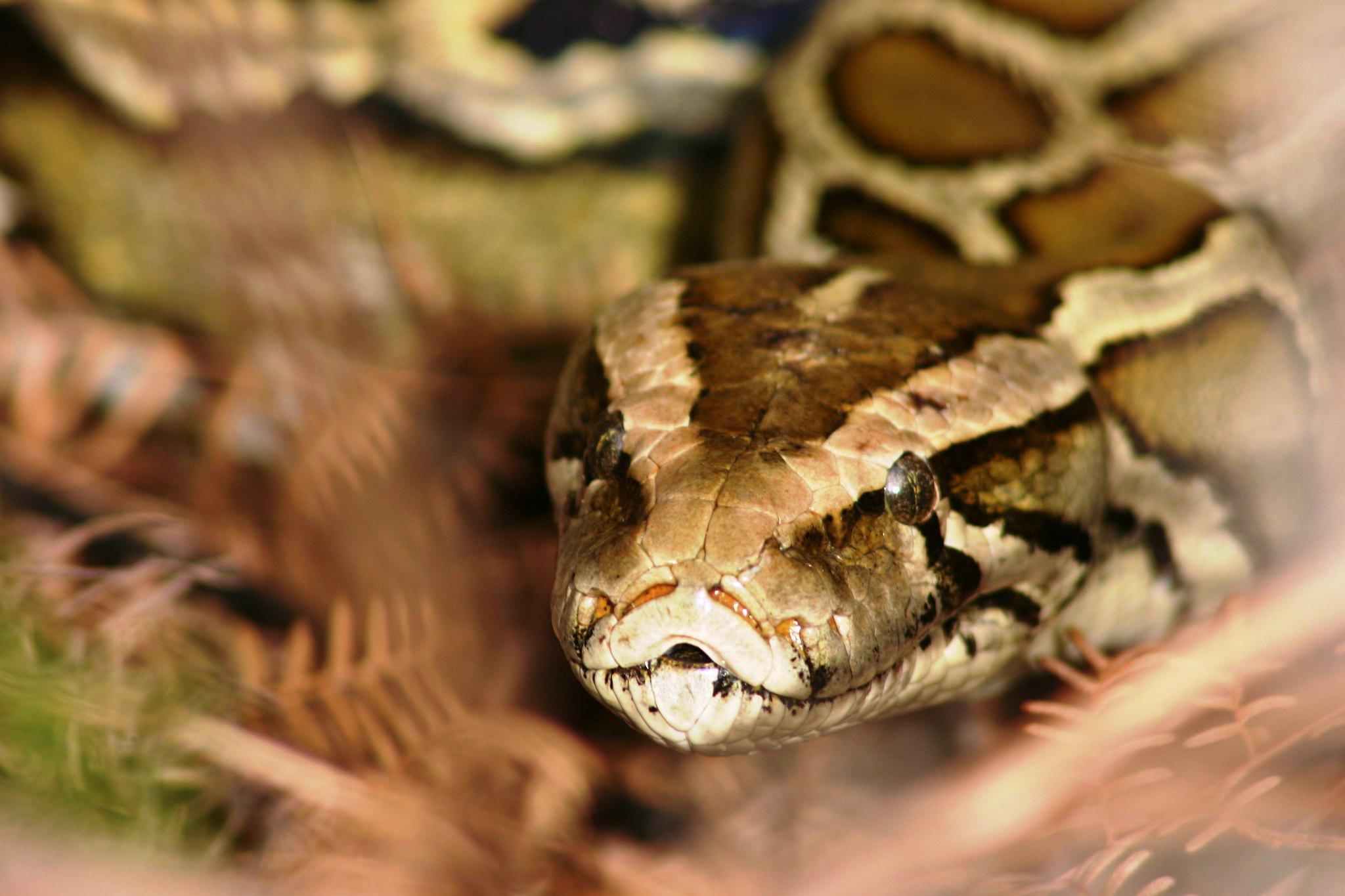 5,000 Burmese Pythons Removed From Everglades