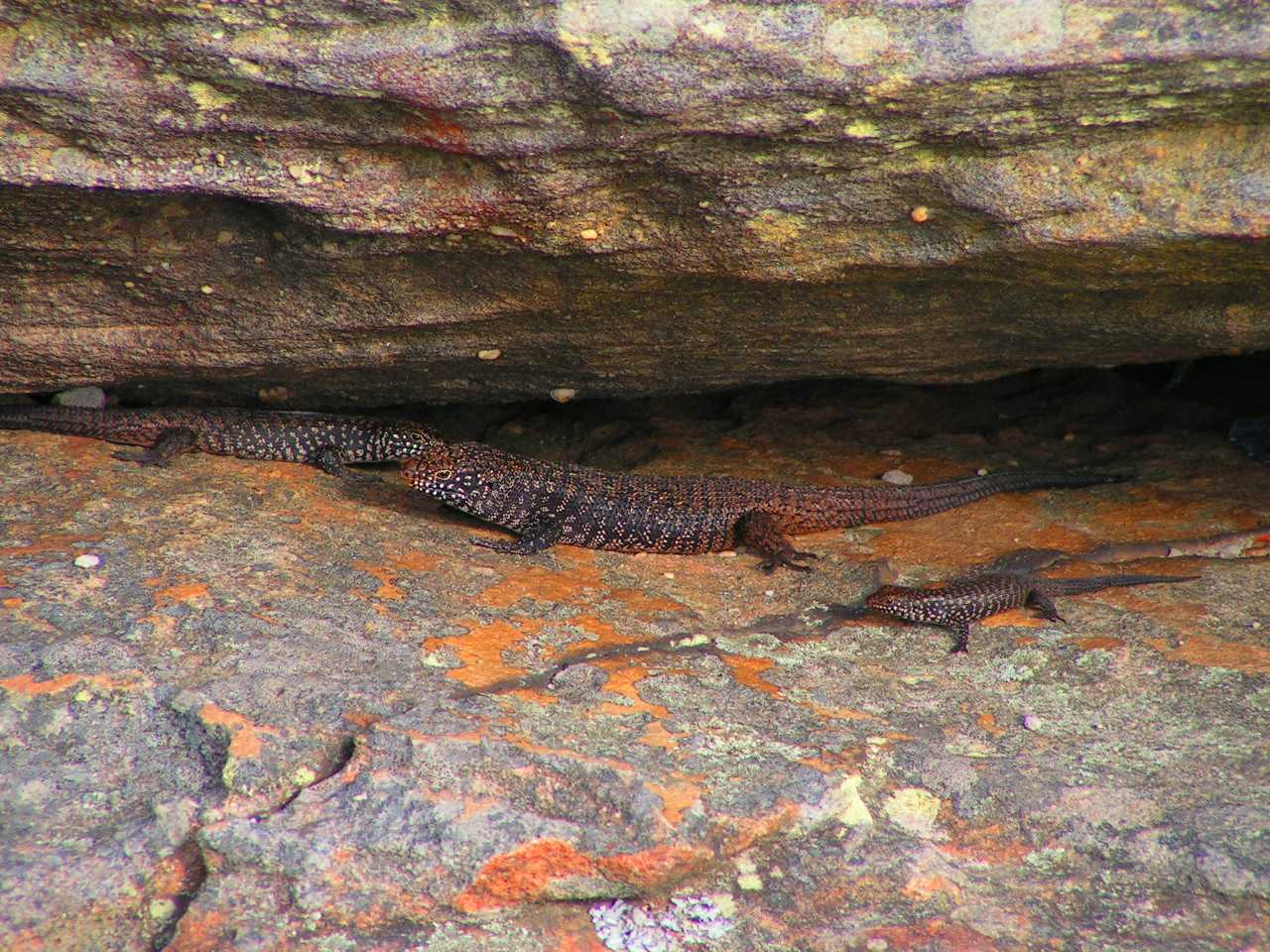 Cunningham's Skinks Protect Their Offspring Against Predators, Study Says