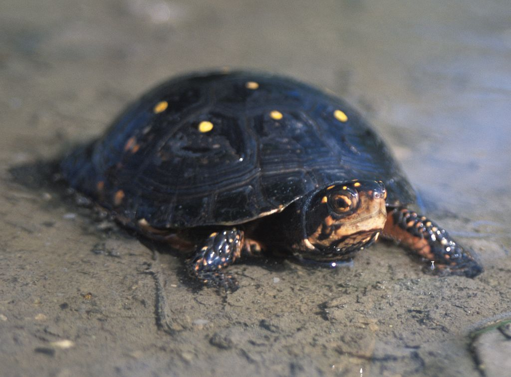 Captive Breeding Program For The Spotted Turtle Launched In Ohio