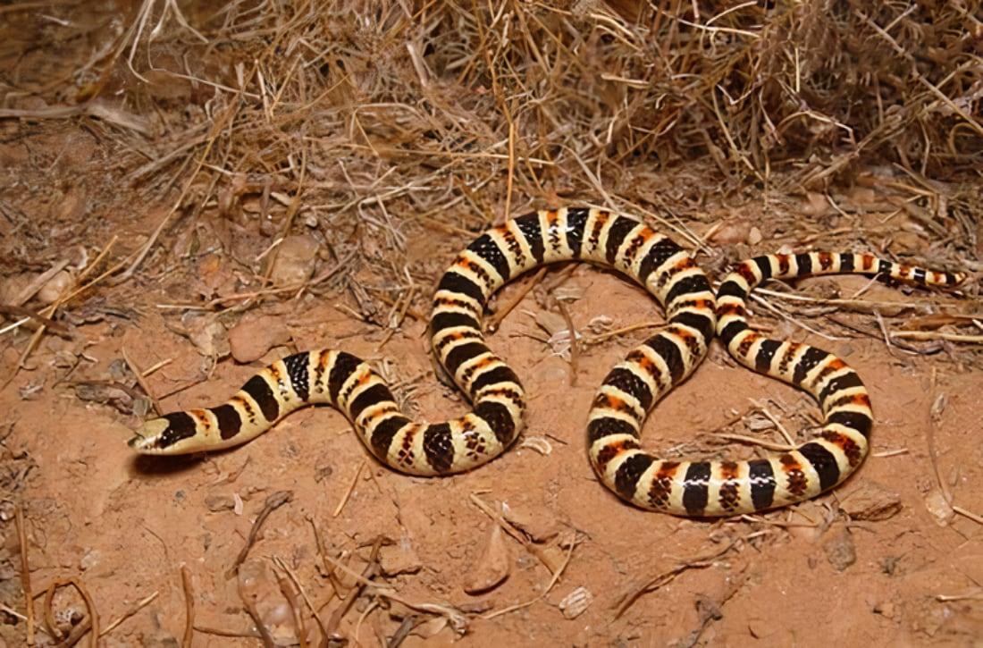 ESA Protections Sought For Tucson Shovel-nosed Snake