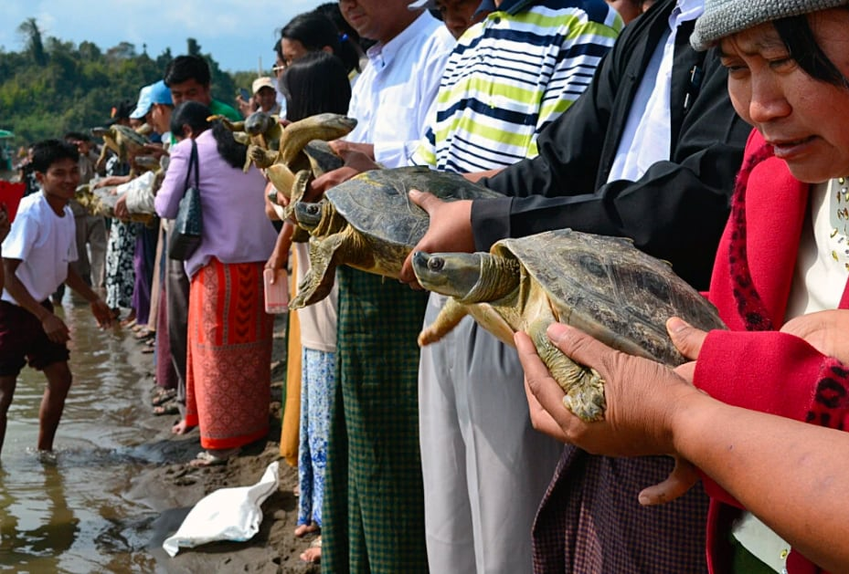 Once Functionally Extinct Burmese Roofed Turtle Now Number More Than 1,000