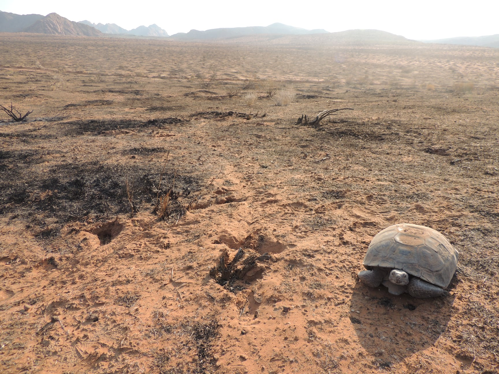 Desert Tortoise Survives Not One, But Two Utah Wildfires