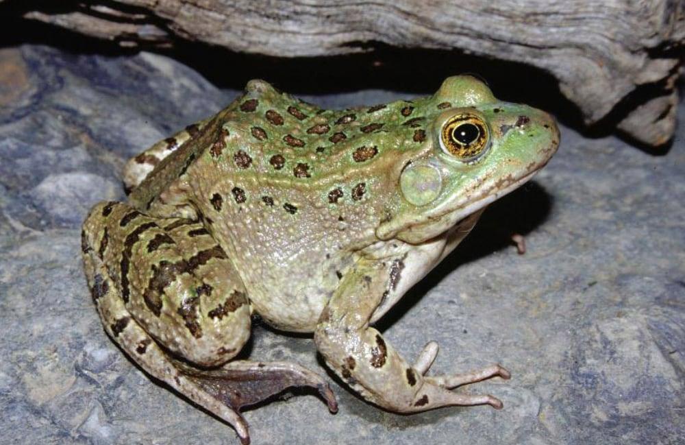 Phoenix Zoo Celebrates 25 Years Captive Breeding Of Chiricahua Leopard Frog