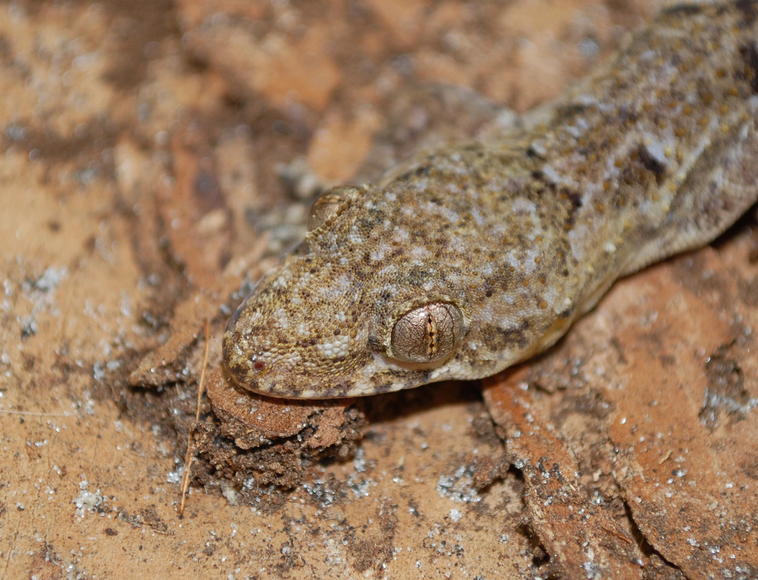Invasive Lizards Adapting To Florida's Cold Weather