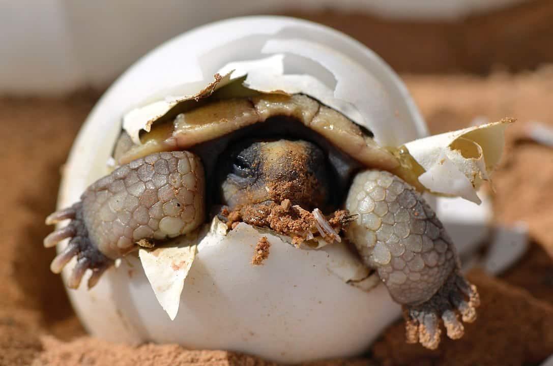 California Desert Tortoise Granted Temporary Endangered Species Status