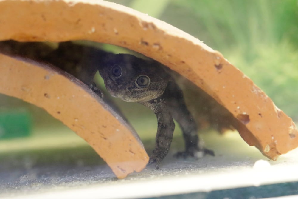 200 Loa Water Frog Tadpoles Born At National Zoo of Chile