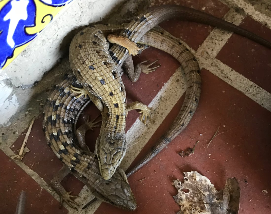 Male Southern Alligator Lizards Clamp The Heads Of Their Mates For Hours During Courtship