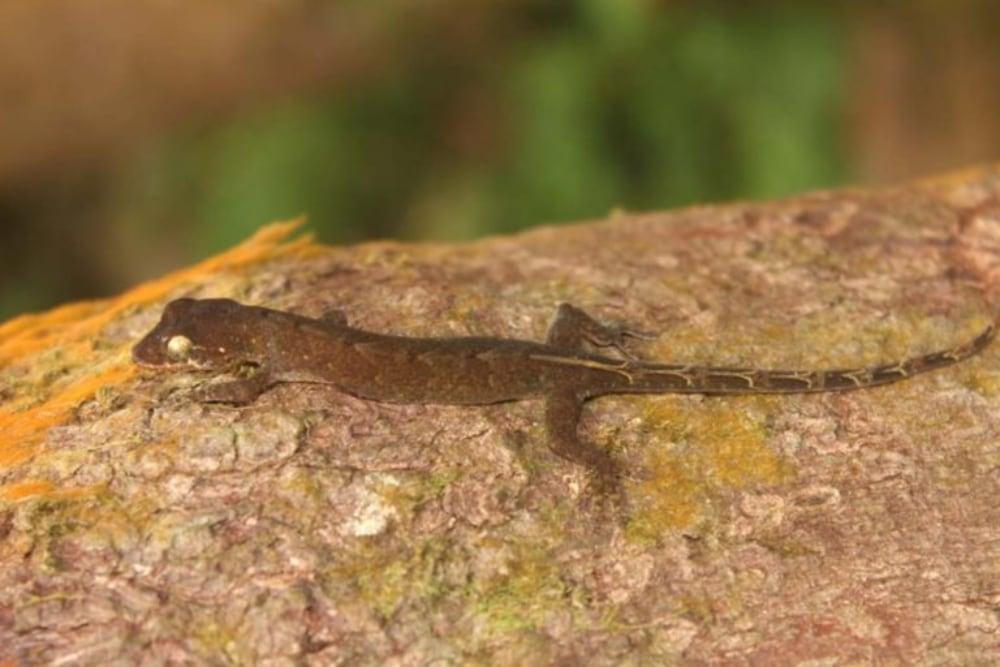 New Philippine False Gecko Species Discovered In Bicol Region On Luzon Island