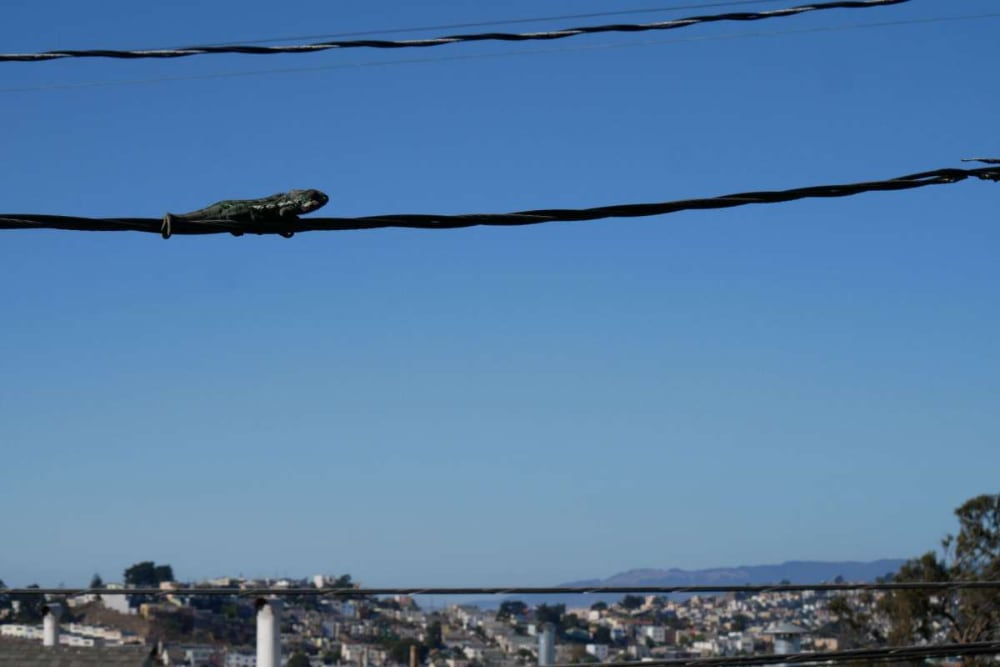 Panther Chameleon Lost In Daly City, CA Since June Found Alive On Powerline