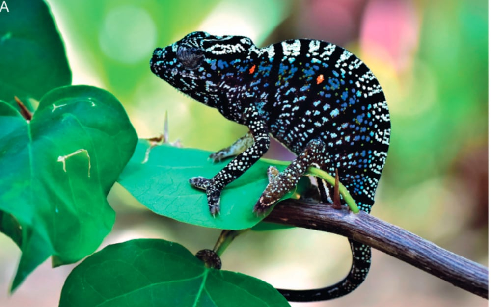 Researchers Rediscover Malagasy Chameleon After 100 Years