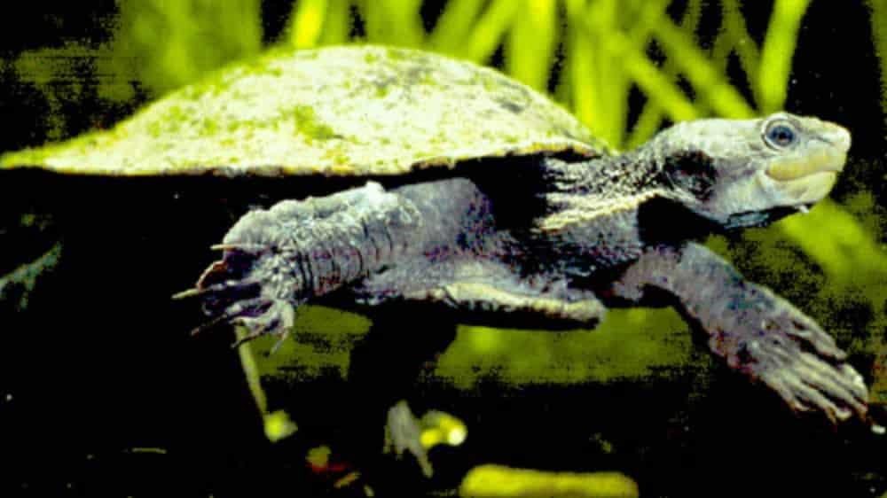 Gulf Snapping Turtle <em>Elseya lavarackorum</em> Renamed <em>Elseya oneiros</em>
