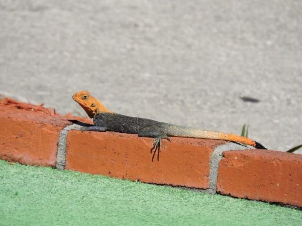 Introduced Peter's Rock Agama Most Well Established Agamid Species In Florida