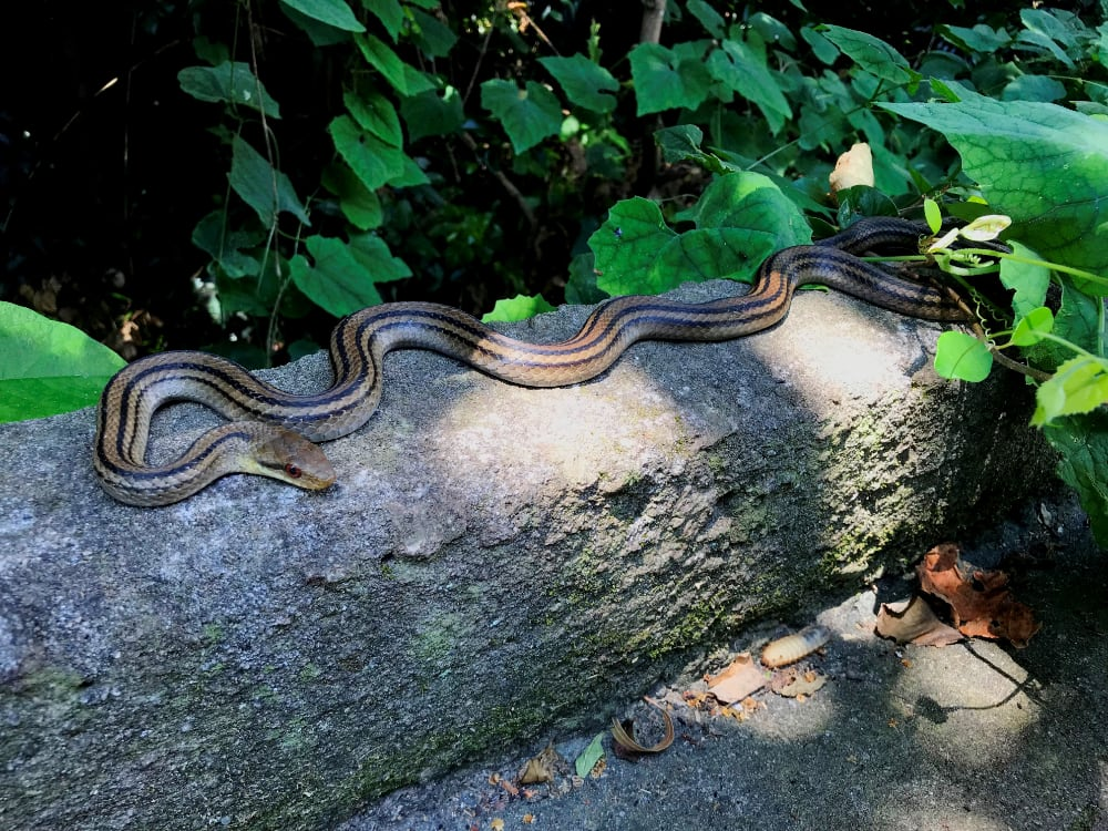 Higher Body Temps In Island Lizards Help Them Escape Snake Predation