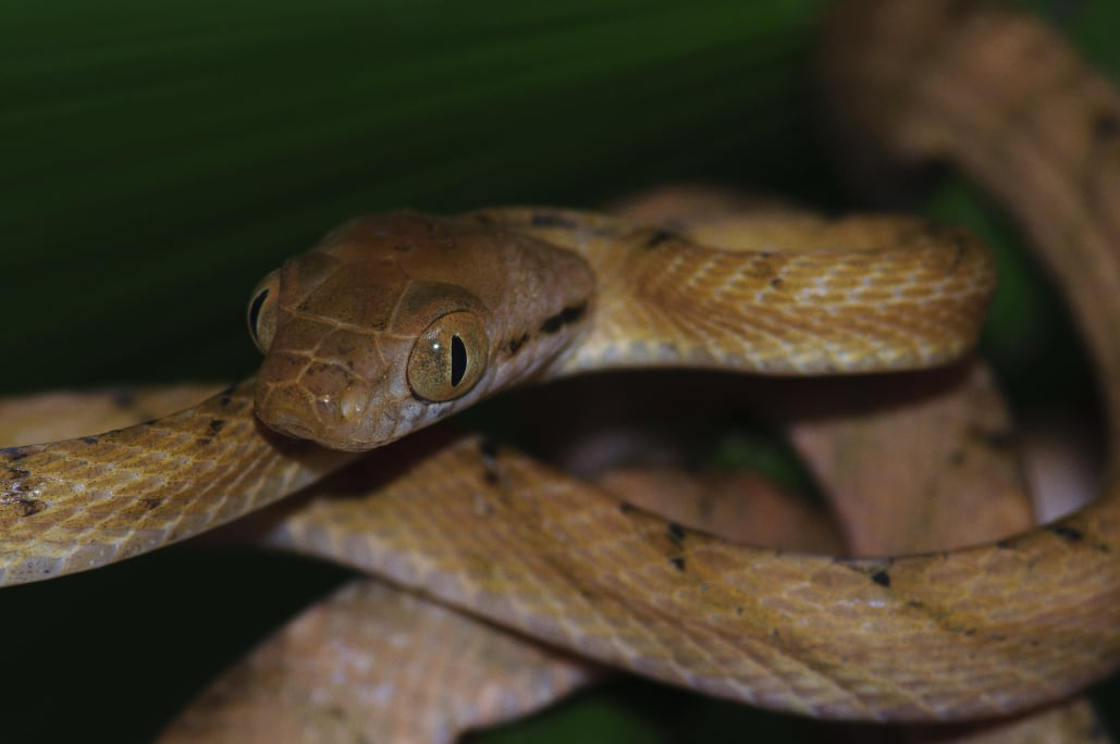 Brown Tree Snake's Lasso Locomotion Helps It Climb Trees To Eat Birds On Guam