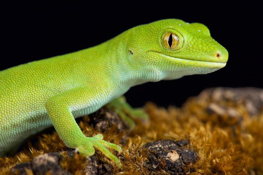 Green Geckos Benefit From Soft Penned Release In New Zealand