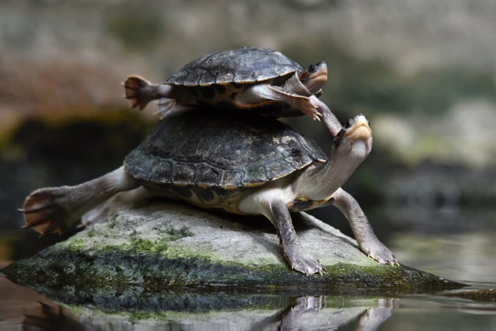10 Southern River Terrapins Released Back Into The Wilds Of Cambodia