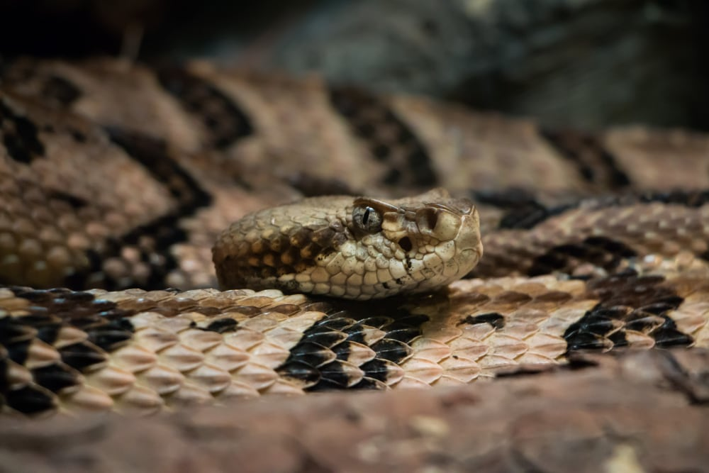North Carolina Wants To Know If You See Rattlesnakes And Pine Snakes