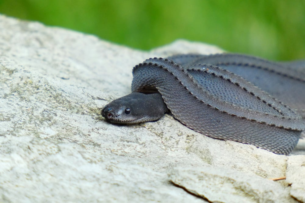 Dragon Snake Care And Information