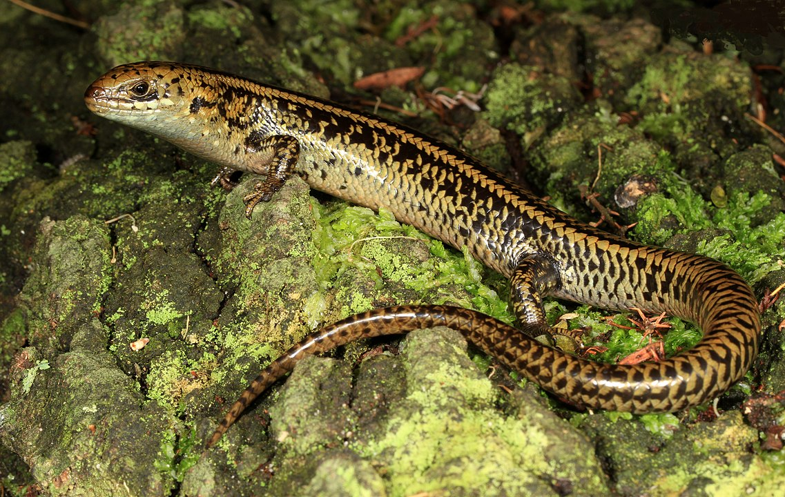 Skink That Lived 25 Million Years Ago Discovered In Australia