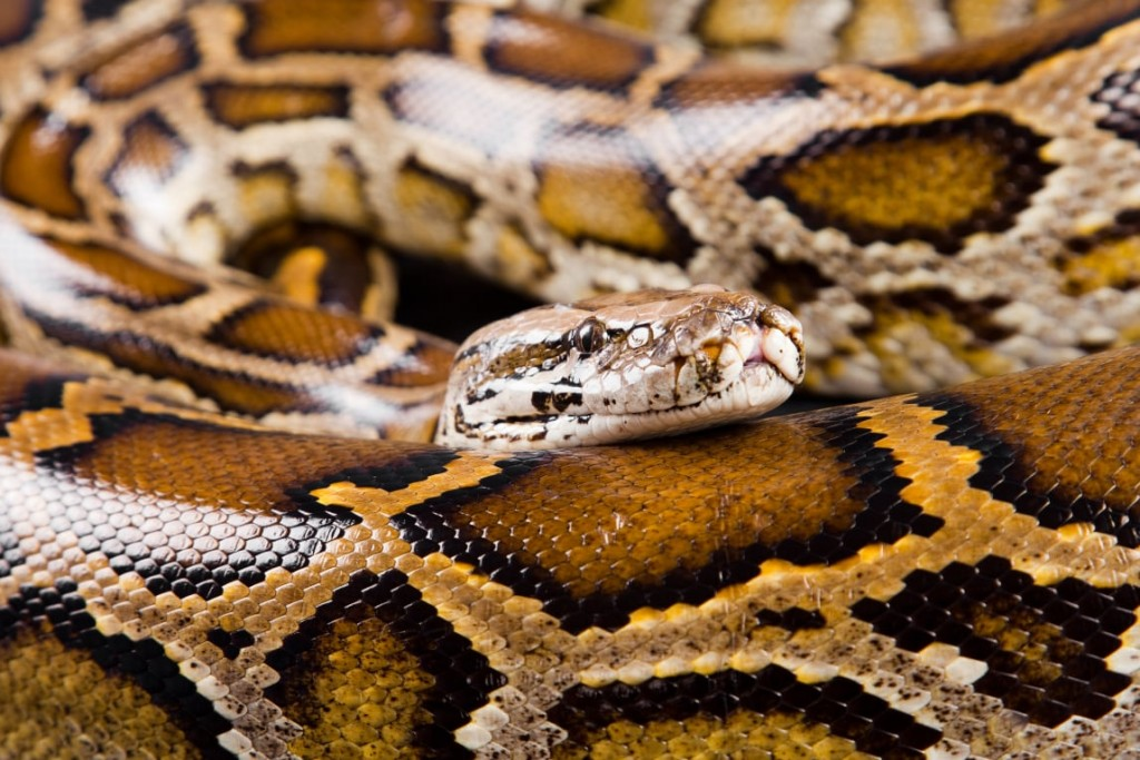 Florida FWC Votes To Ban Commercial Breeding And Keeping Of Pythons, Tegus, Other Reptiles