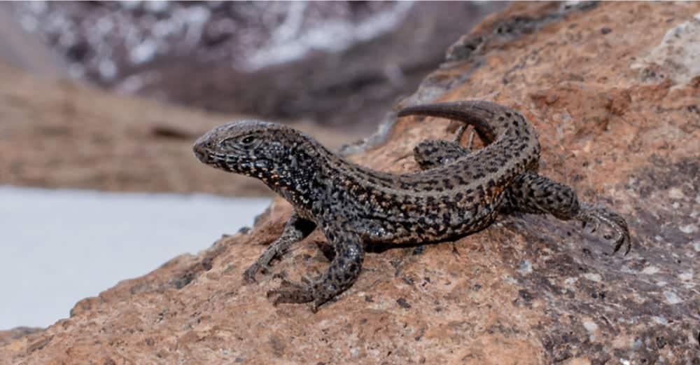 World's Highest Elevation Reptile, <em>Liolaemusaff.tacnae</em>, Discovered In Peru