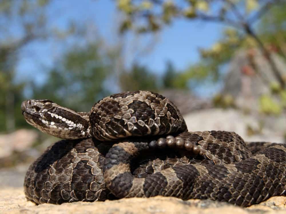 Seven Eastern Massasauga Rattlesnakes Born At Columbus Zoo and Aquarium