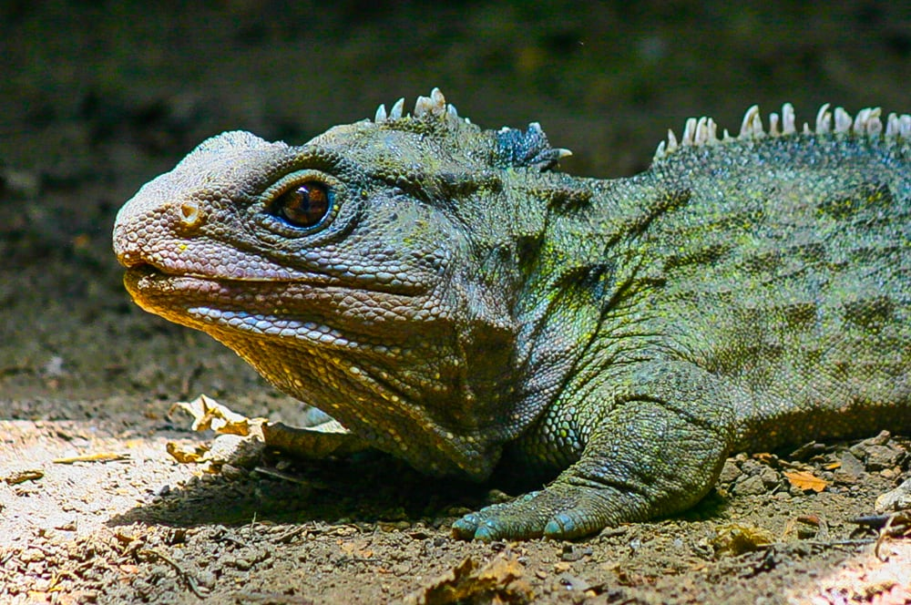 Tuatara's Two Sets Of Mitochondrial Genome May Help It Withstand Cold Temperatures Better