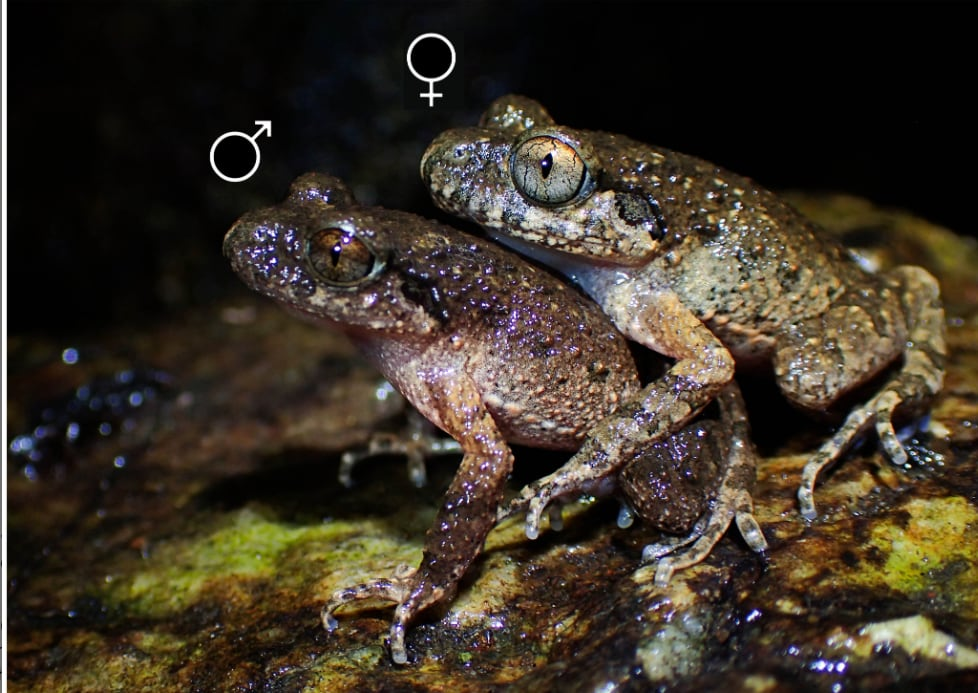 Lau's Leaf Litter Toads: Female On Top During Mating, Study Says