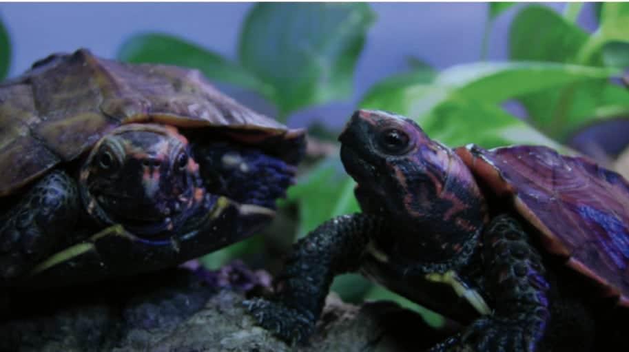 Working With The Rare Ryukyu Black-breasted Leaf Turtle