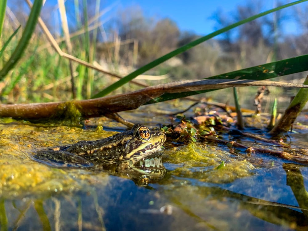 The Return of Red-Legged Frogs to Southern California