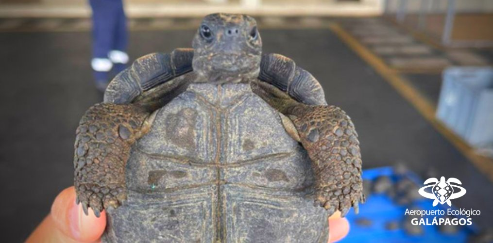 Nearly 200 Hatchling Galapagos Tortoises Seized At Galapagos Island Airport