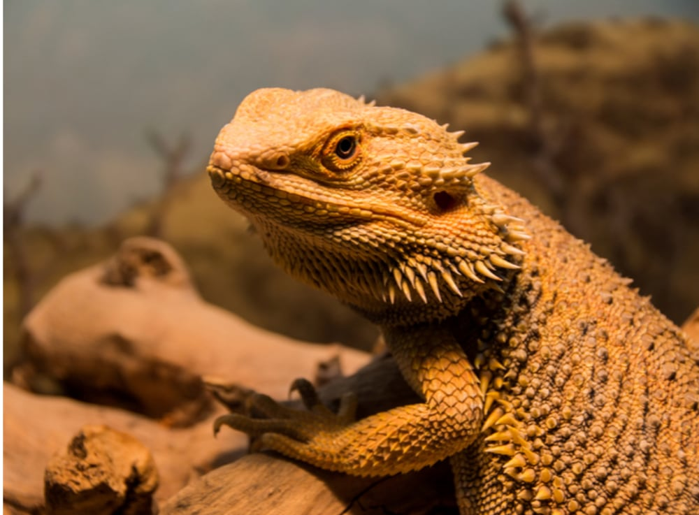 Bearded Dragon Embryos Can Switch Sex Two Different Ways, Study Says