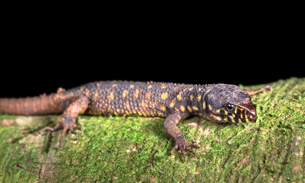 Yellow-Spotted Night Lizard Information and Care