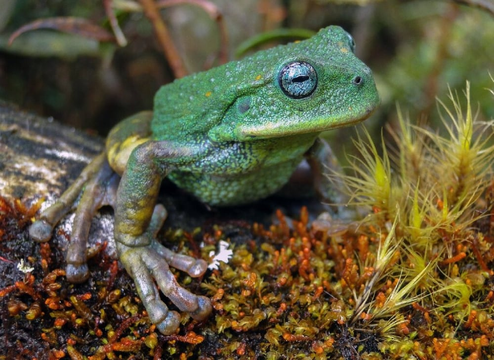 New Marsupial Frog Species Discovered in Peru
