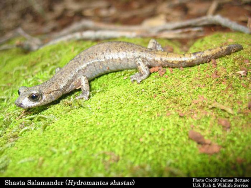 USFWS Denies Protections For 3 Salamander Species Impacted By California Dam Project