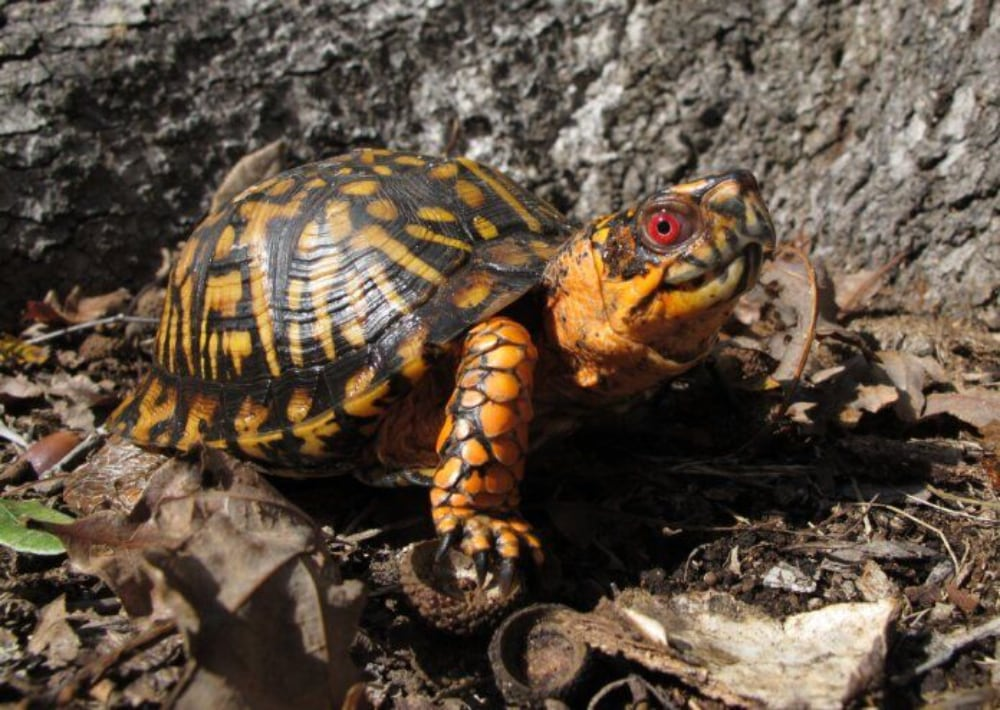 New Restrictions Proposed On Box Turtles, Native Herps In Virginia