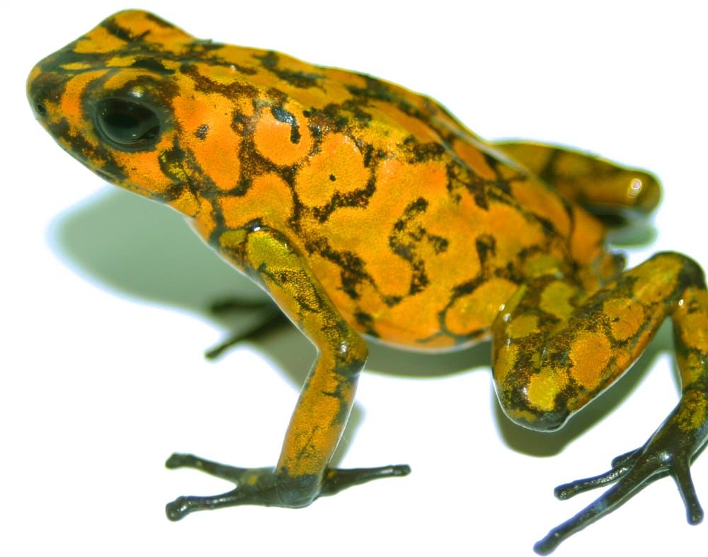 Poison Frog Poison Defense Differs Based on Prey Location/Consumption