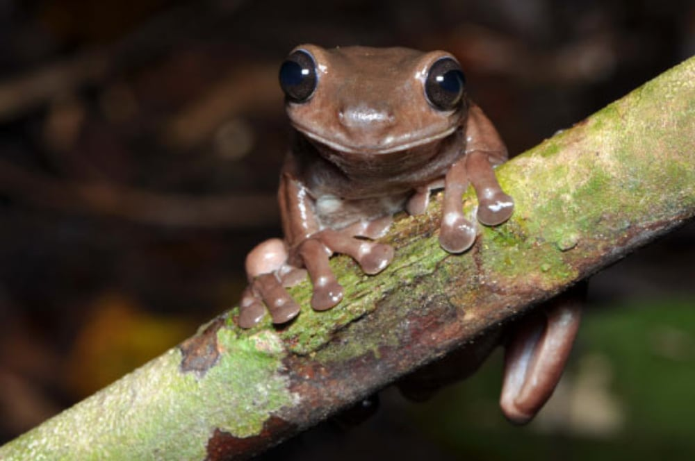 New Litoria Chocolate Frog Species Discovered In New Guinea